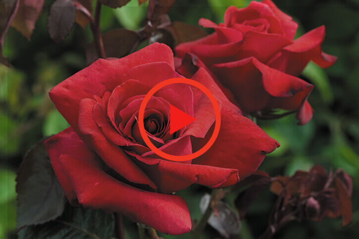 sumitomo naturedeep for Rose crop